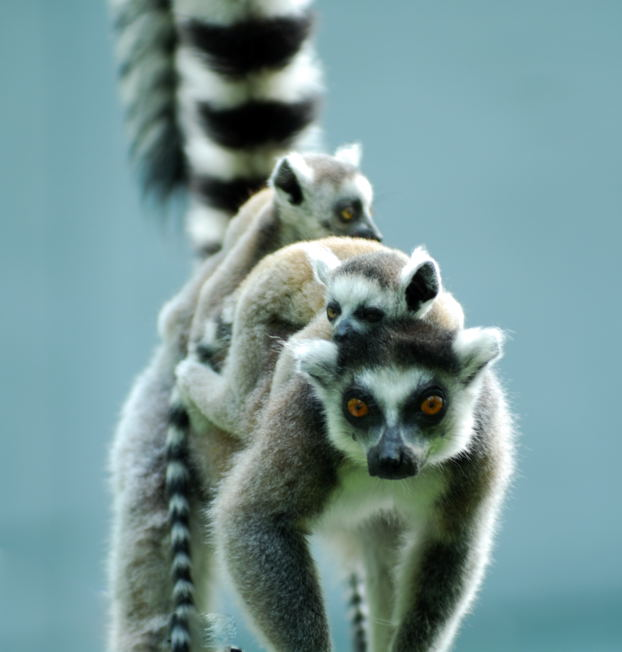ringtail lemur with twobabies