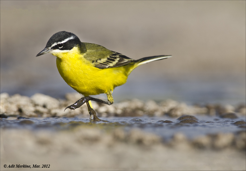 AM_03282012_Y Wagtail_002 - email.jpg