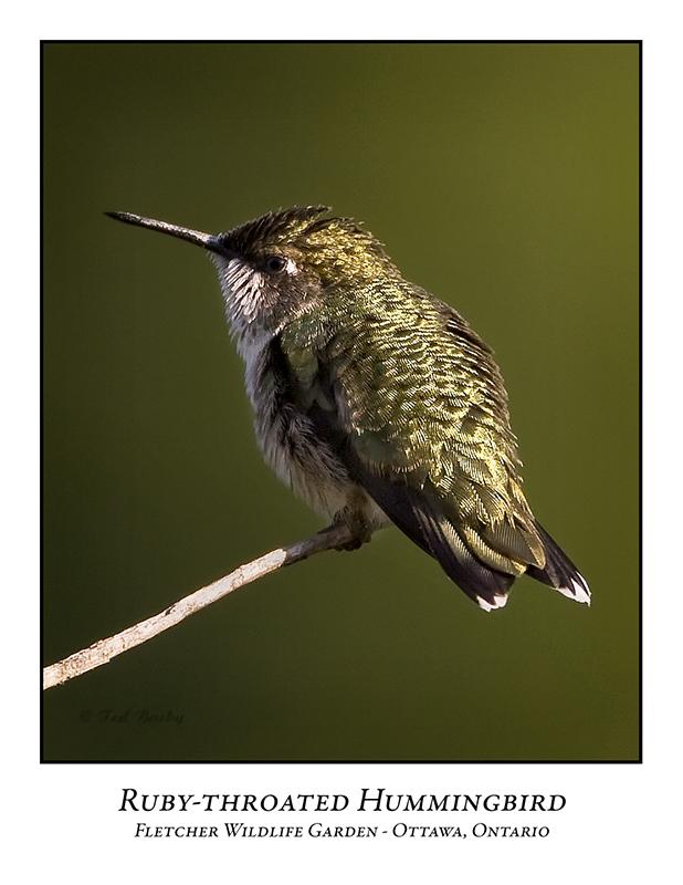 Ruby-throated Hummingbird-003