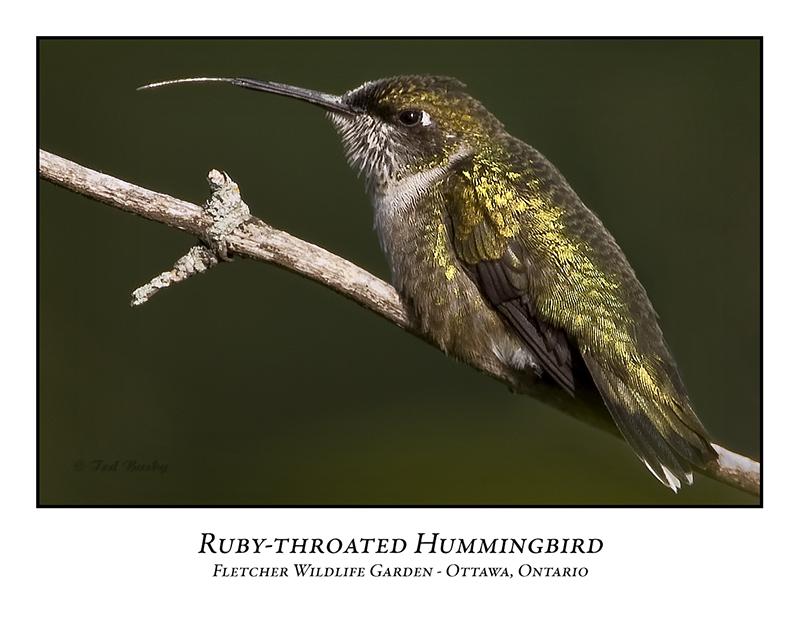 Ruby-throated Hummingbird-004