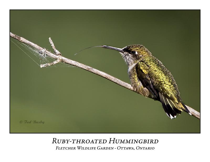 Ruby-throated Hummingbird-005