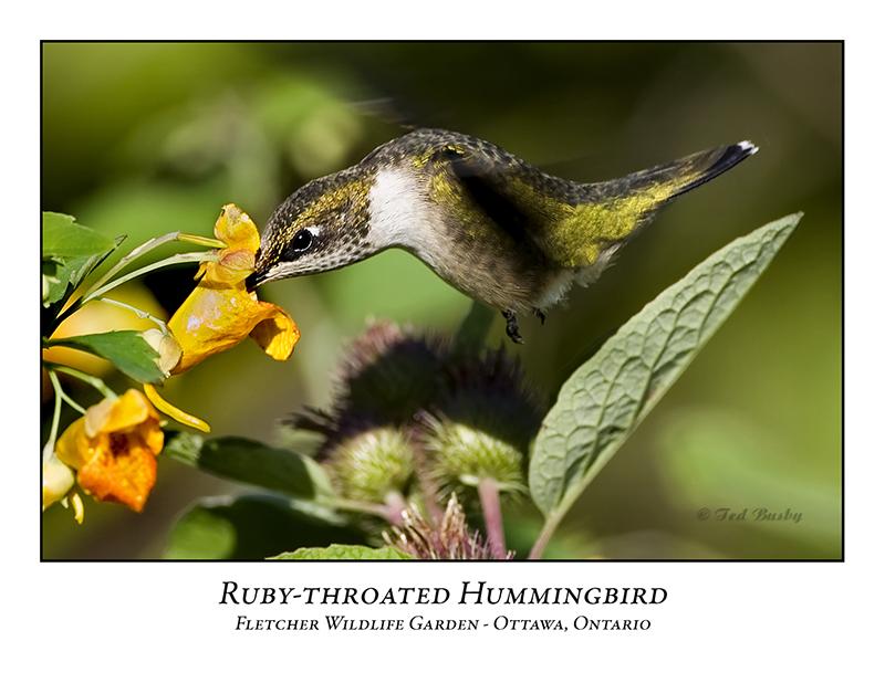Ruby-throated Hummingbird-007
