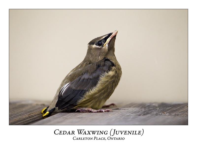 Cedar Waxwing-011