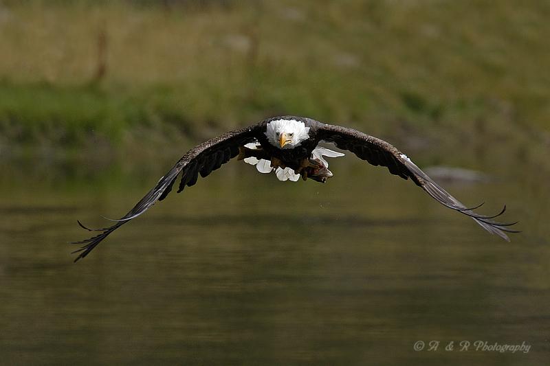 Eagle with catch pb.jpg