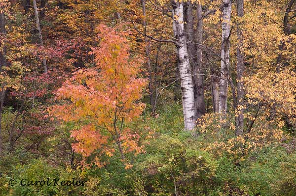 Fall Color with Birches