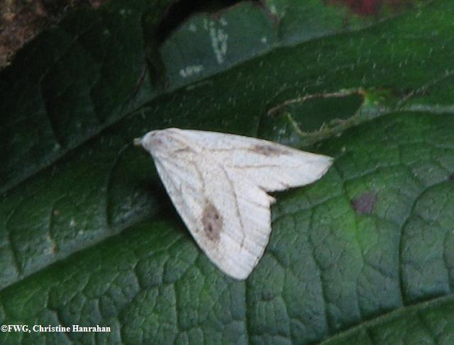 Spotted grass moth (<em>Rivula propinqualis</em>), #8404
