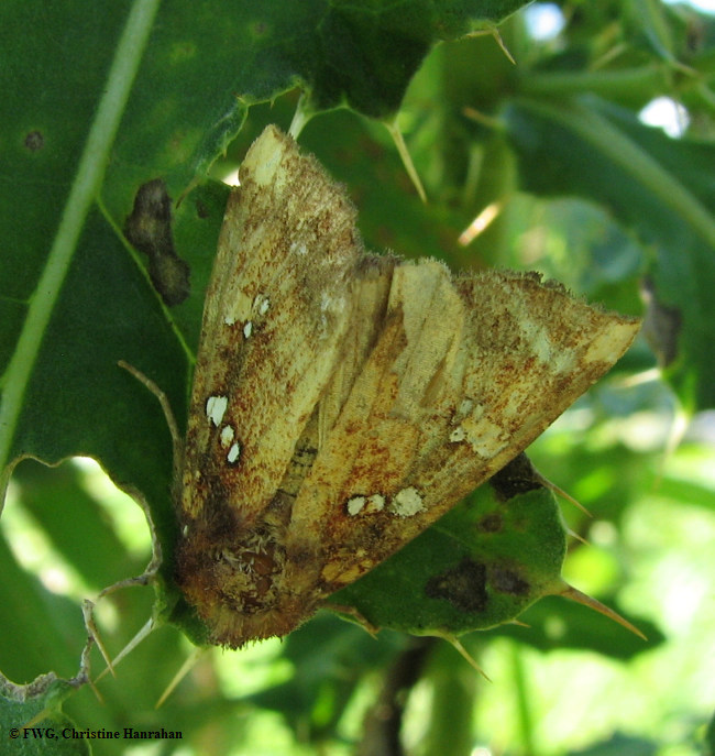 Wild indigo borer (<em>Papaipema baptisiae</em>), #9485