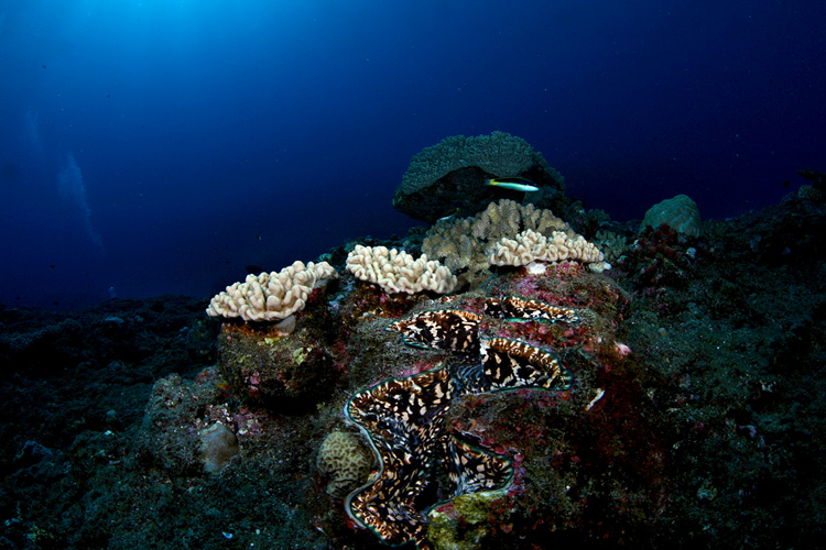 Giant clam reefscape