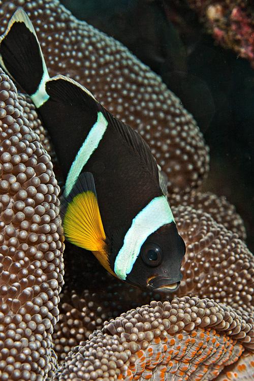 Panda clown fish