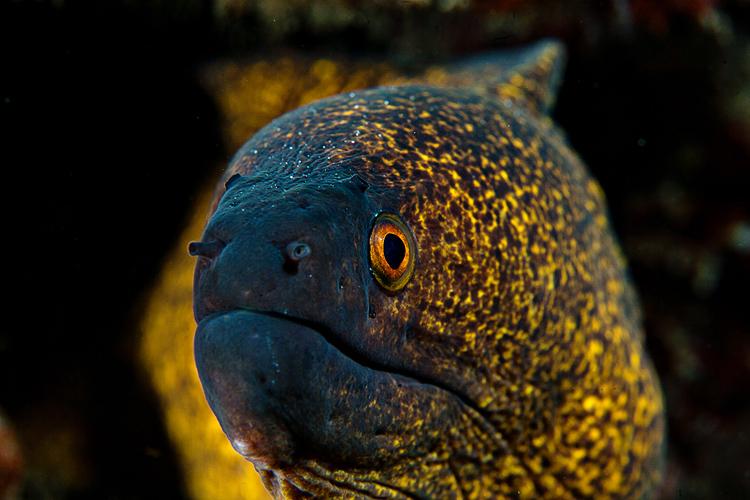 Yellow-Margined moray