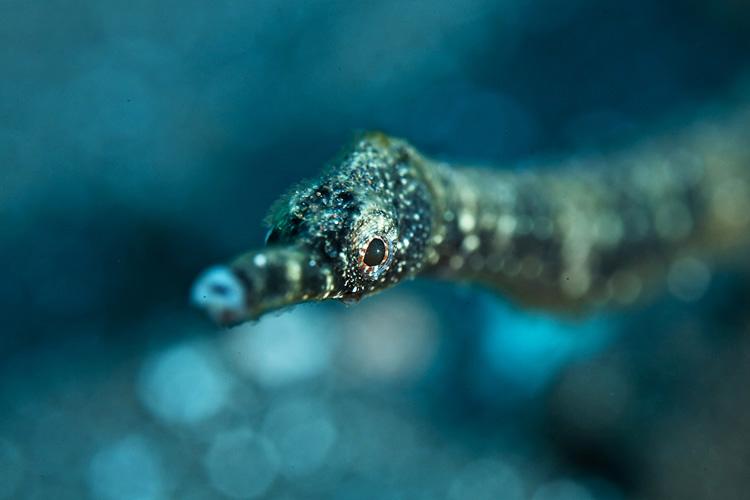 Bokehd Short-Tailed Pipefish