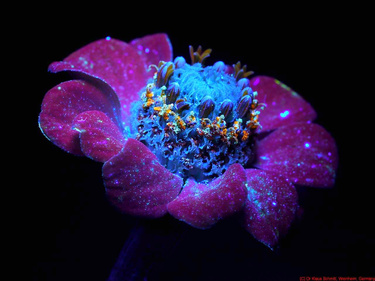 Photography of the Invisible World: Zinnia: UV Induced Visible ...