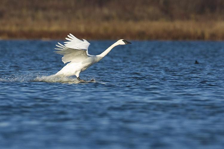 trumpeter swan 101108IMG_8443