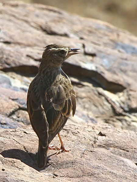Thekla Lark, Axum
