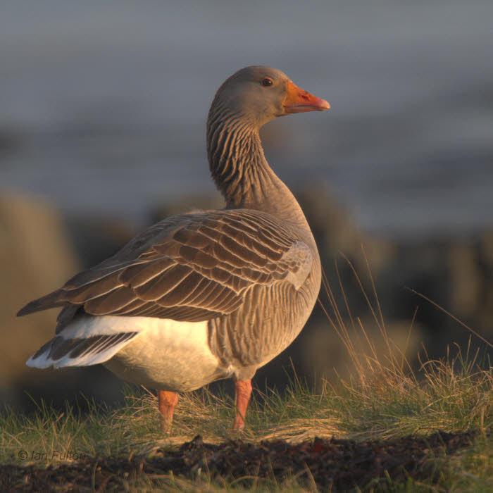 Greylag Goose, Bruichladdich-Loch Indaal, Islay