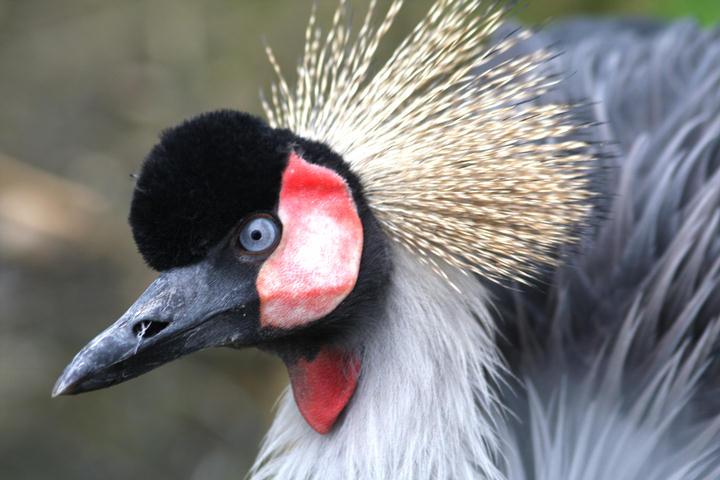 Kronenkranich / crowned crane