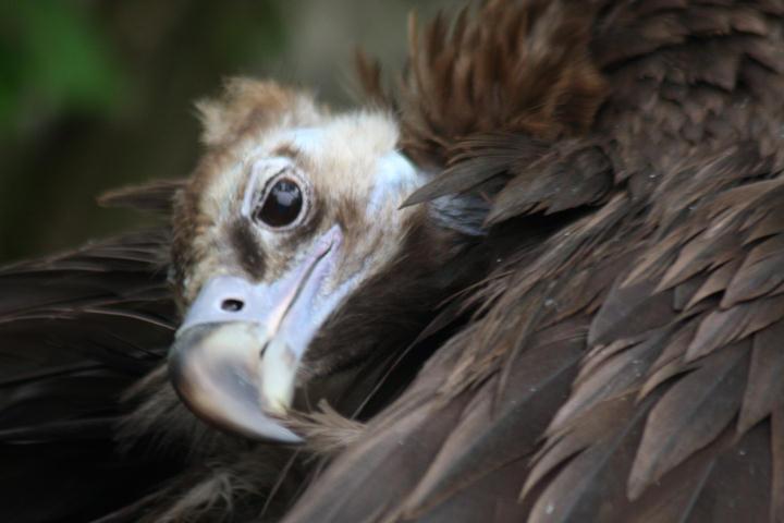 Mönchsgeier / black vulture