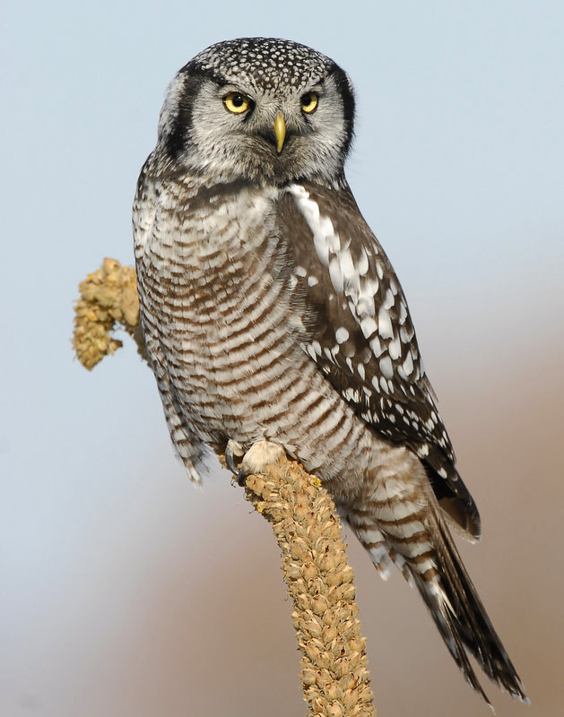 Owl Northern-hawk D-054.jpg