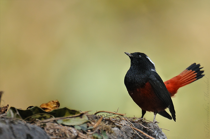 White capped water redstart