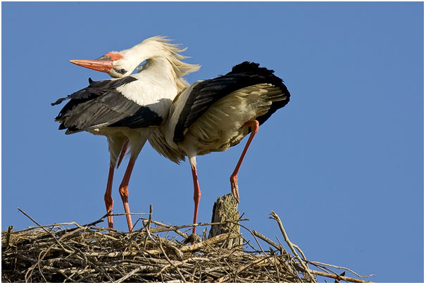 White Stork Welcome