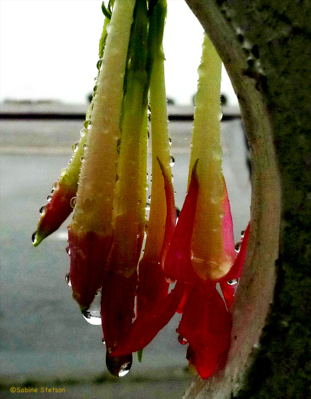 lipstick plant.jpg