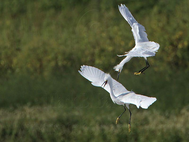 _MG_9738 Snowy Egret.jpg