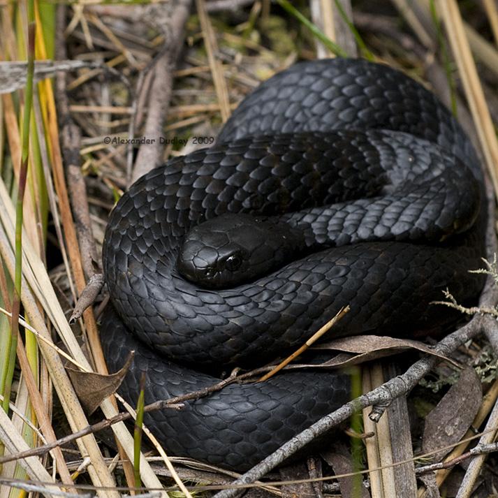 Tasmanian Tiger Snake (Notechis scutatus)