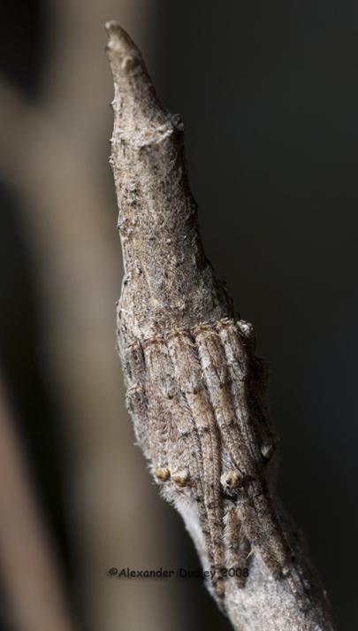 Twig Spider, genus Poltys.