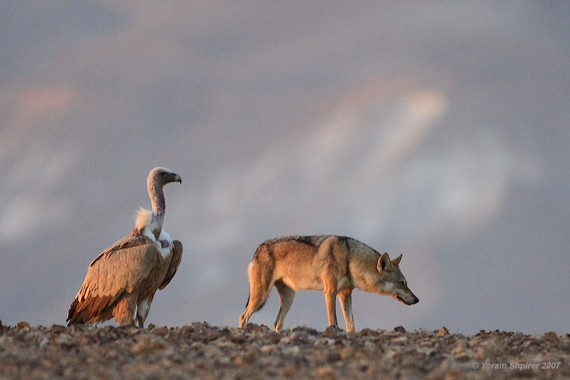 Griffon Vulture and Wolf