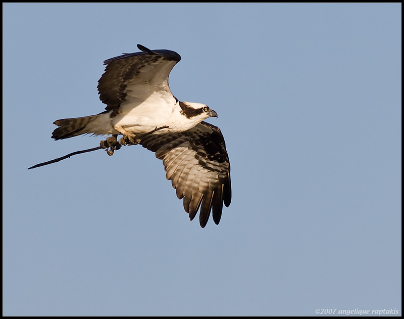 _MG_9589 osprey cwf.jpg