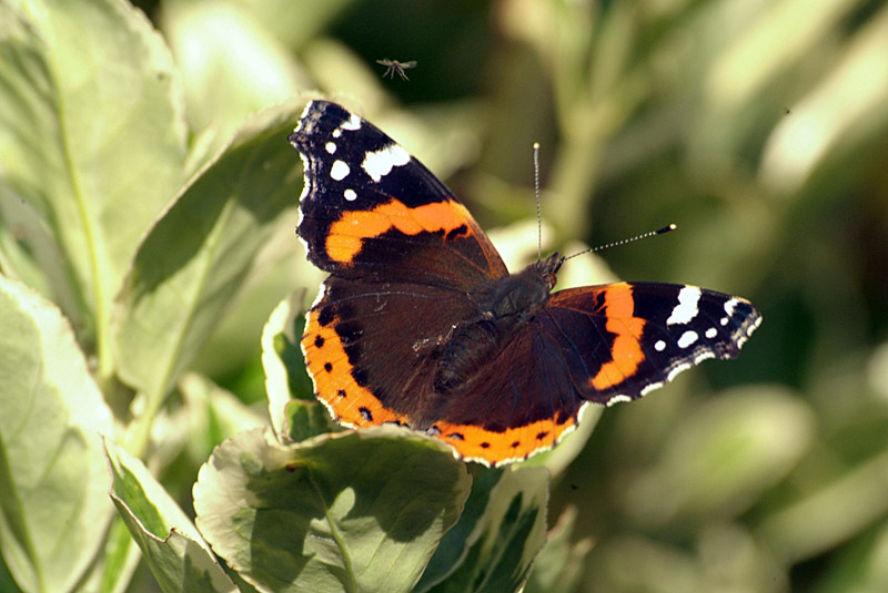 Red Admiral Resting 06