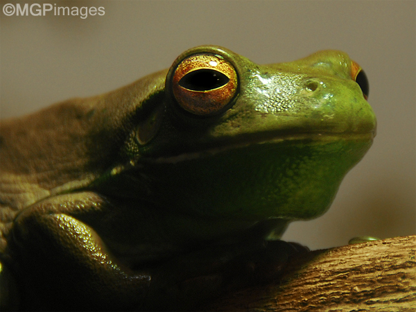 Tree frog, Australia