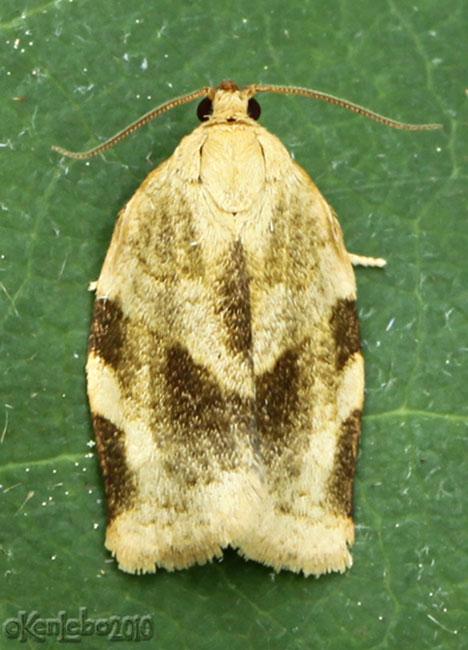 Broken-banded Leafroller Moth Choristoneura fractivittana #3632