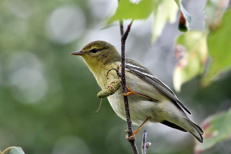 IMG_0283 Blackpoll Warbler juvenile.jpg
