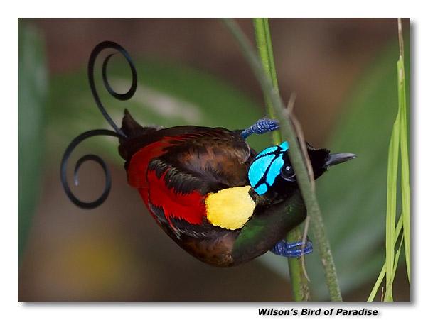 Wilsons Bird of Paradise