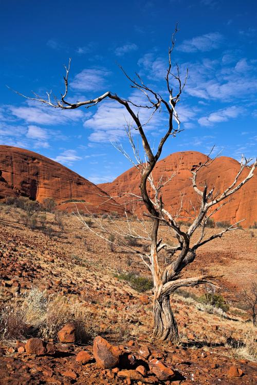 Solitary tree at Kata Tjuta