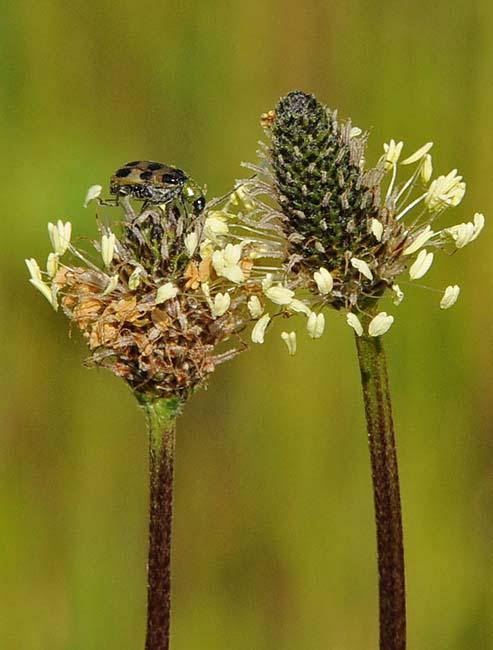 Narrowleaf Plantain and Beetle