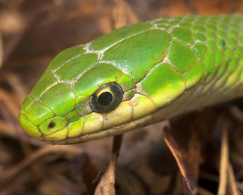 Eastern Smooth Green Snake