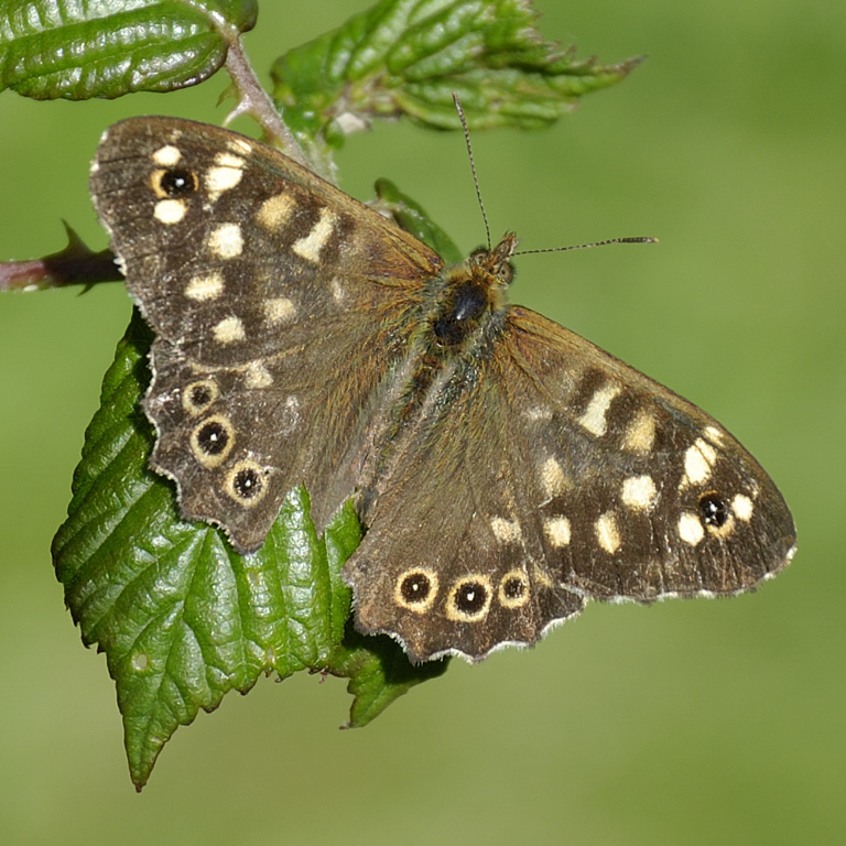 speckled wood by the path