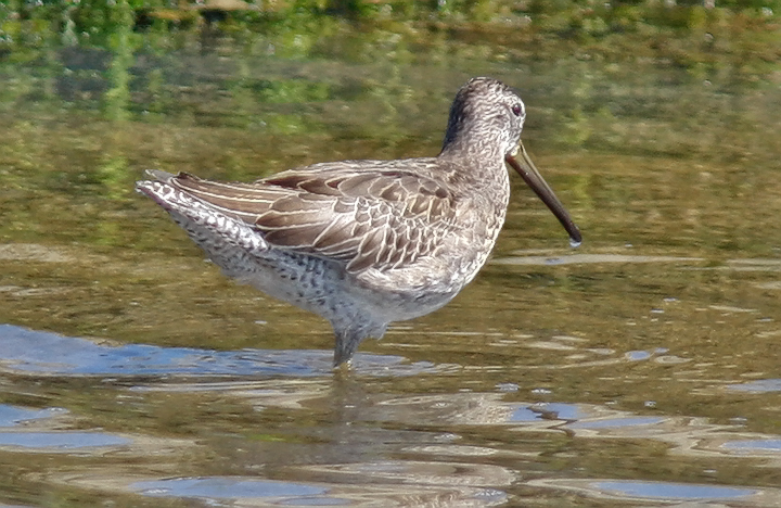 Long-billed Dowitcher, juv.