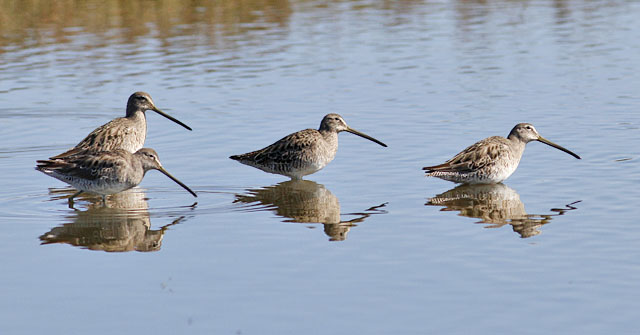 4 probable Long-billed Dowitchers (#1 of 3)