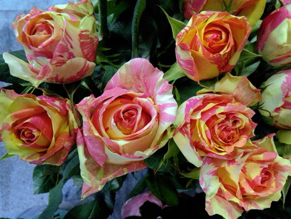 Adamsi Rose