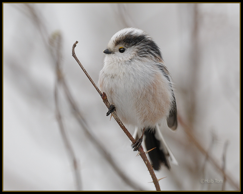 Staartmees -  Long-tailed Tit