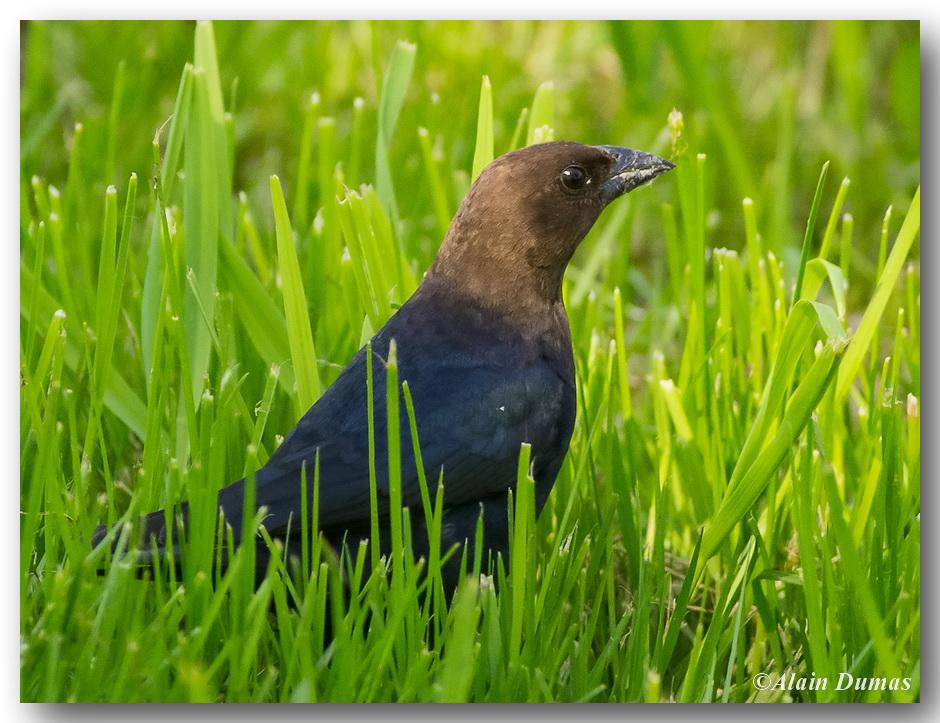 Vacher à Tête Brune Mâle - Male Brown-Headed Cowbird