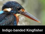 Indigo-banded Kingfisher