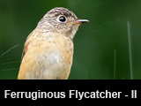 Ferruginous Flycatcher - Part II