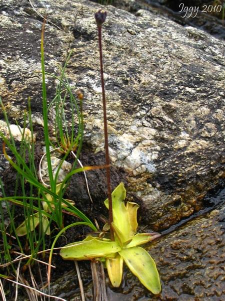 Pinguicula vulgaris ( Massif des Grandes Rousses )