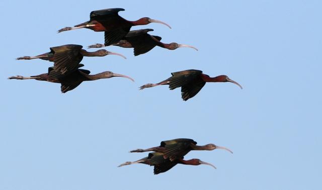 Glosy Ibis - Plegadis falcinellus - Morito - Capó Reial