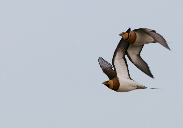Pintail sandgrouse  - Pterocles alchata - Ganga común
