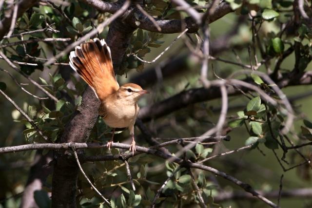 Rufous Bush Robin - Cercotricas galactotes - Alzacola - Cuaenlairat